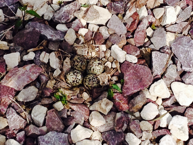 This is why she was so perturbed. She laid her eggs trailside.